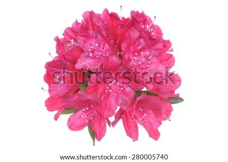 Pink rhododendron flower head isolated on white background - stock photo