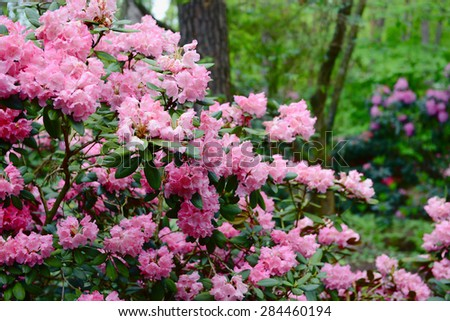 pink rhododendron in a park