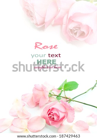 Pink rose and petals isolated on white background