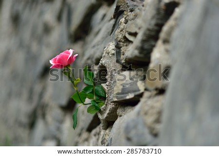 pink rose and stone wall - stock photo