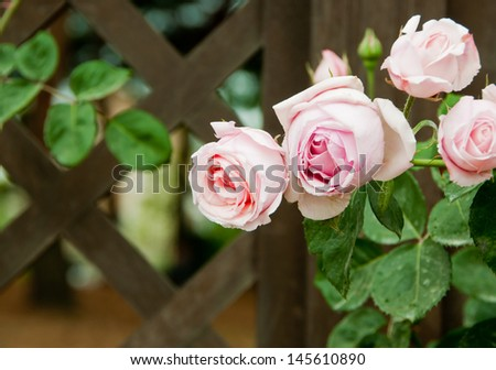 Pink rose and wooden fence - stock photo