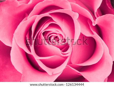 Pink rose background - stock photo