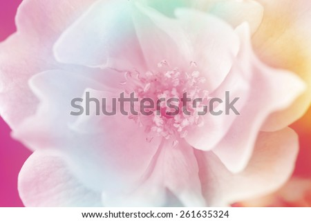 Pink rose background,Flower blue background - stock photo