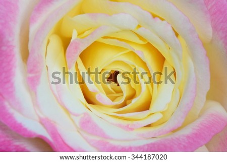 pink rose blooming and yellow in center - stock photo