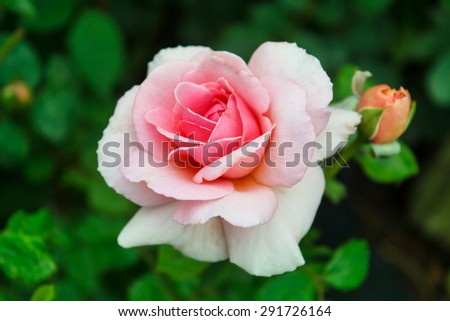pink rose blooming in the garden, thailand. - stock photo