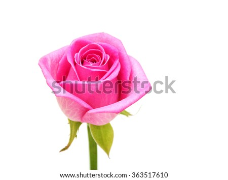 Pink rose blossom on white background