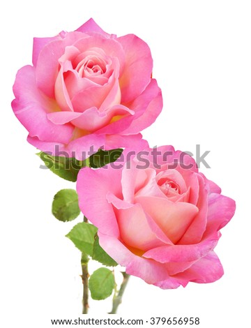 Pink rose bunch isolated on white background - stock photo