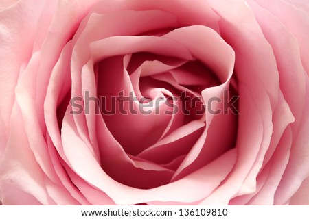 pink rose, close up - stock photo