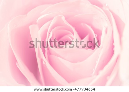 Pink rose close-up can use as wedding background a symbol of love
