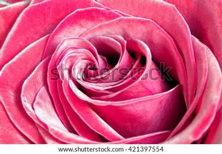pink rose close up, velvety petals nature background