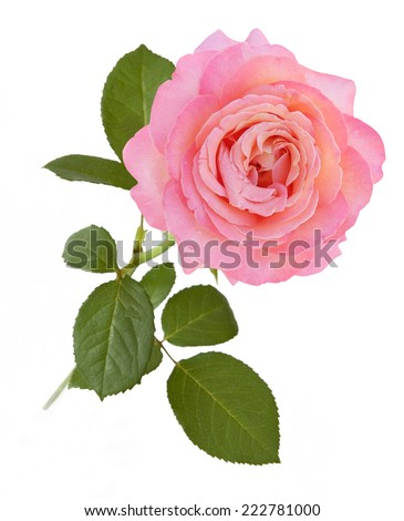 Pink rose closeup isolated on white background. One rose