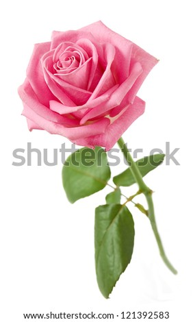 Pink rose closeup with stem and leaves isolated on white background