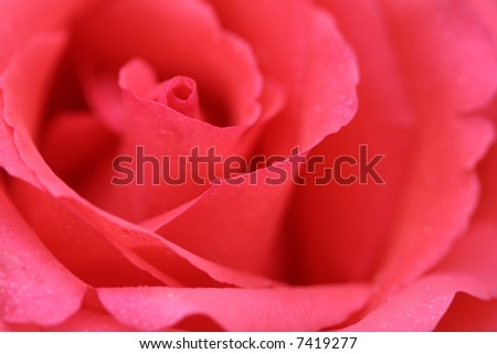 Pink rose, flower background 1