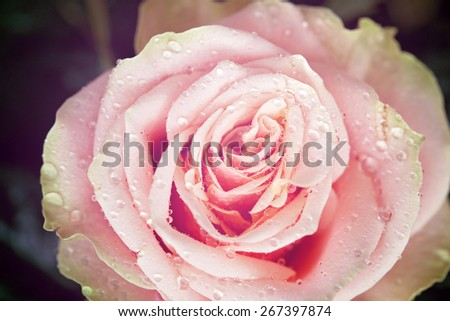 Pink rose flower close-up photo with shallow depth of field, drops of water and leaves, vintage look - stock photo