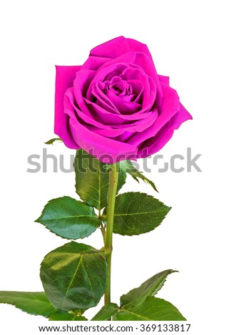Pink rose flower, green leaves, close up, white background, isolated.