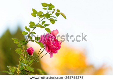 Pink rose flower in the nature