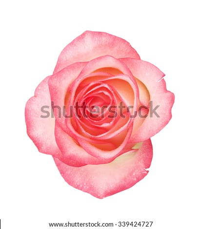 pink rose flower, isolated on white background