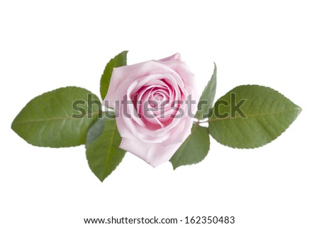 Pink Rose flower isolated on white background with shallow depth of field.