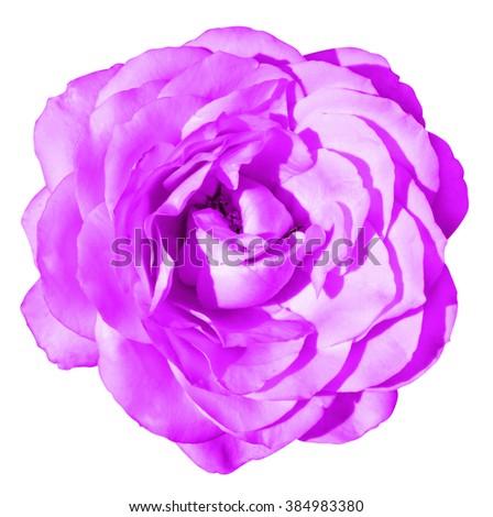 Pink rose flower macro isolated on white - stock photo