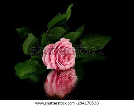 Pink rose flower on a black background with reflection        - stock photo