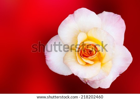 Pink Rose Flower on red background with shallow depth of field and focus the centre of rose flower  - stock photo