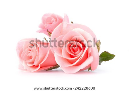 pink rose flower on white background - stock photo