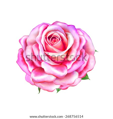 Pink Rose Flower, Sexy and beautiful and rose bud isolated on white background - stock photo