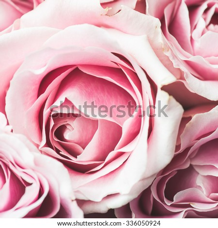 Pink Rose Flower with shallow depth of field and focus the centre of rose flower  - stock photo