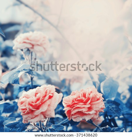 Pink rose flowers blossom in the garden. Toning filter has been applied. - stock photo
