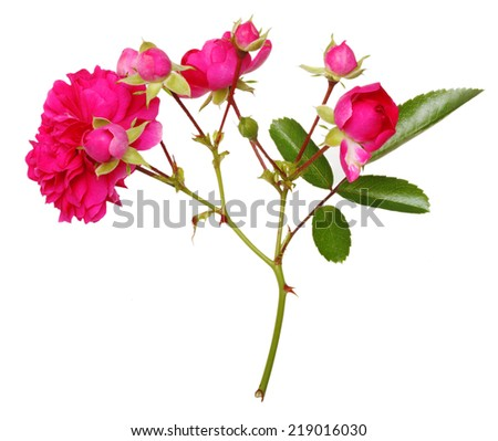 Pink rose flowers twig isolated on white background - stock photo