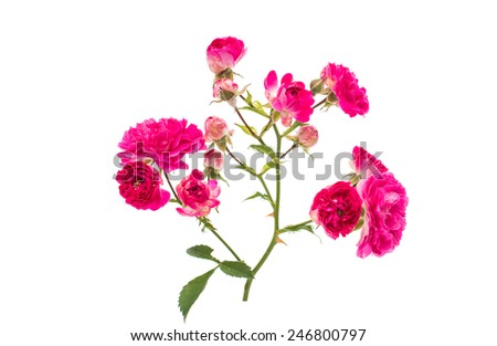 Pink rose flowers twig isolated on white background