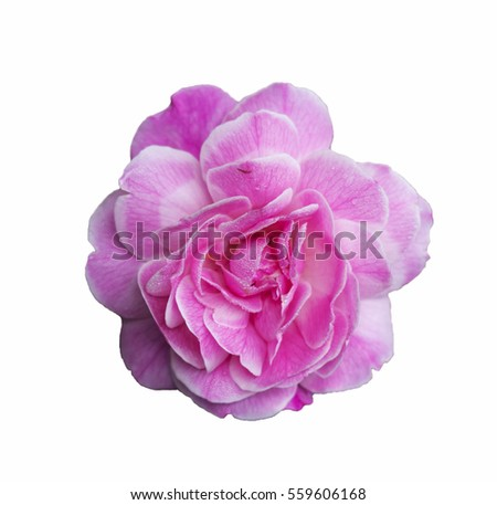 pink rose for valentine on isolated background.