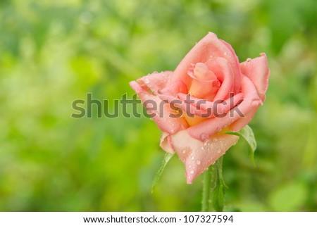 Pink rose front green - stock photo