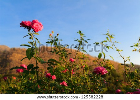 pink rose  in big mountain,Thailand - stock photo