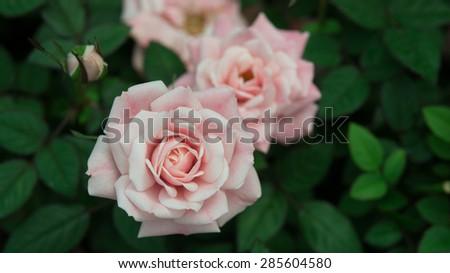 Pink rose in garden - stock photo