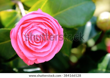 Pink rose  in garden.Shallow DOF with wide aperture - stock photo