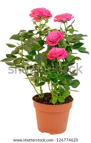Pink rose in the flower pot isolated on white background - stock photo