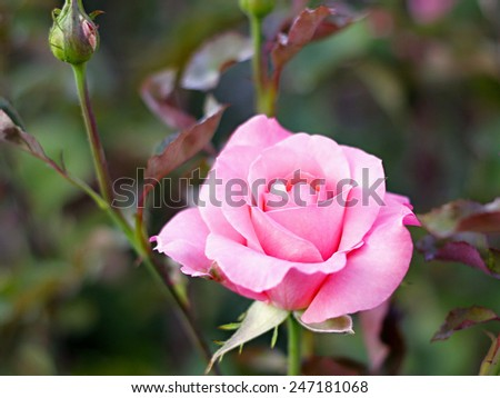 Pink rose in the garden Pink rose in the garden Pink rose in the garden - stock photo