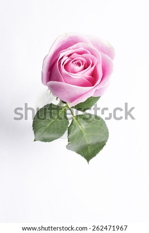 Pink rose in vase ,top view
