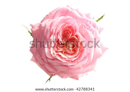 Pink rose in water drops on a white background, it is isolated
