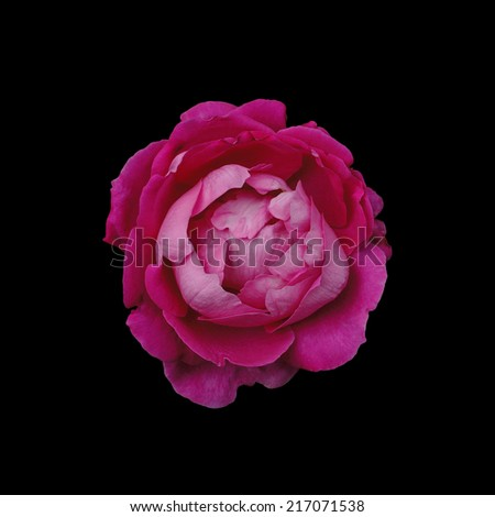 pink rose isolate on black background - stock photo