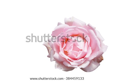 Pink rose, Isolated
