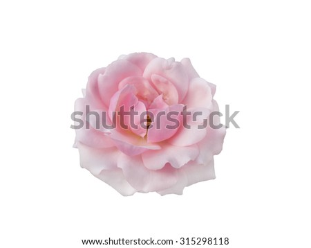 Pink rose isolated on a white background