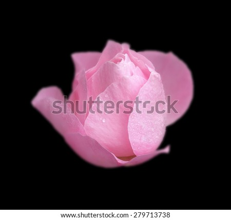 Pink rose isolated on black background