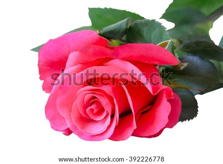 Pink rose isolated on white background. Selective focus - stock photo