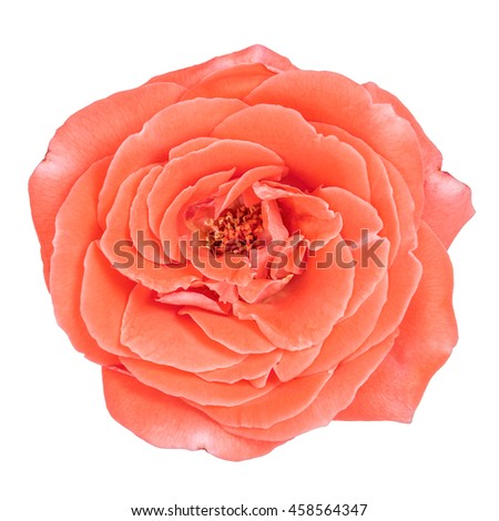 Pink rose isolated on white background, top view.