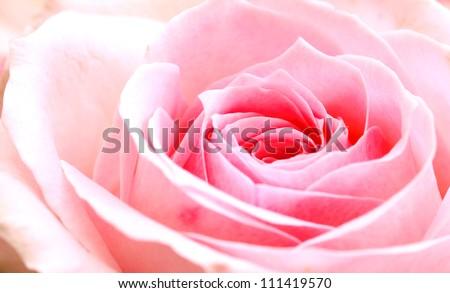 pink rose macro - stock photo
