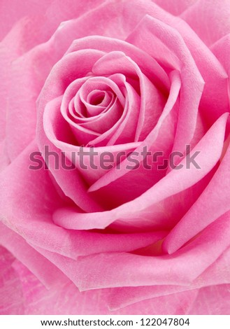 Pink rose macro - stock photo