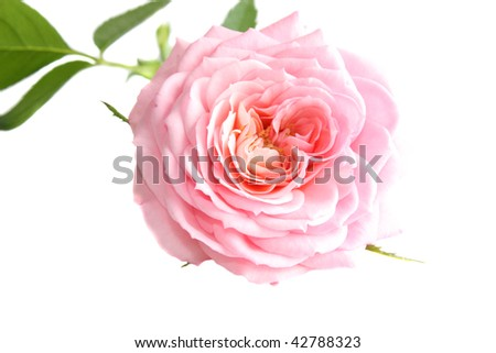 Pink rose on a white background, it is isolated
