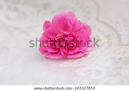 pink rose on lace - stock photo